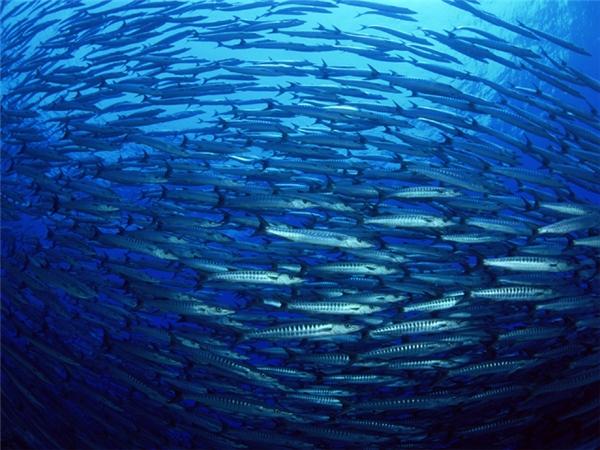 Sau đó số lượng tiếp tục lớn dần, bầy cá giống như một thỏi nam châm cực mạnh tiếp tục thu hút những bầy cá nhỏ khác cho đến khi kích thước bầy đạt cực đại.