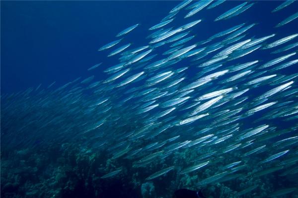 Một bầy cá trích có thể bao gồm hàng triệu con, diễu hành một vùng nước lên đến hàng chục km vuông. Thử tưởng tượng bạn đang bơi và bị chúng bao vây mà xem, điều gì sẽ xảy ra?