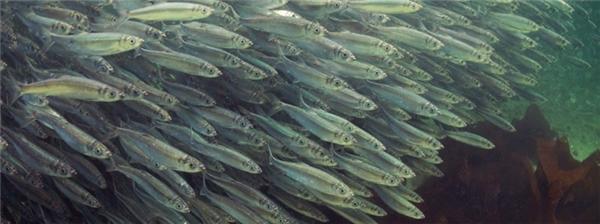 Một loài cá rất quen thuộc trong ẩm thực khắp thế giới là cá trích, sinh sống nhiều ở các vùng nước nông ở Bắc Thái Bình Dương và Bắc Đại Tây Dương.