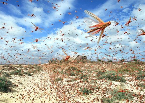 Bầy châu chấu lớn nhất từ trước đến nay có số lượng lên đến hàng ngàn tỷ con, và có thể phá nát cả một vùng đồng quê chớp nhoáng trong vòng vài giờ.