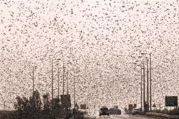 Để diệt trừ chúng, người ta phải dùng đến máy bay xịt thuốc chứ không còn cách nào khác vì kích thước của một bầy châu chấu có thể to bằng cả một tiểu bang nước Mỹ.