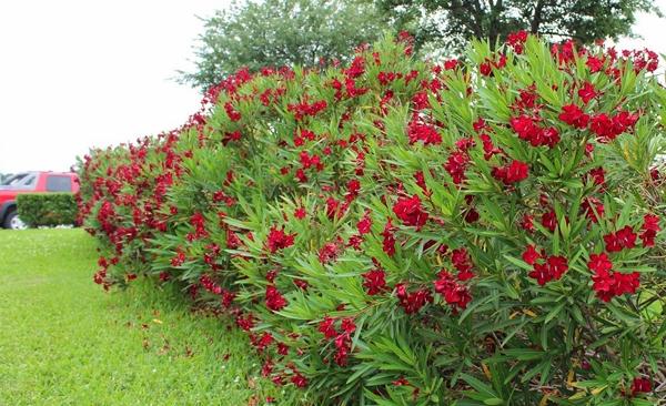 Có dáng đẹp và hoa nở quanh năm nên Trúc đào thường được trồng trong sân nhà.
