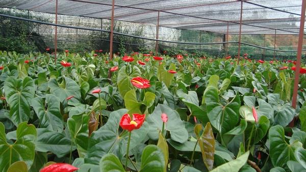 Tiếp xúc hoặc ngửiloại thực vật này trong thời gian dàicó thể dẫn đến tình trạng ngạt thở, khó chịu.