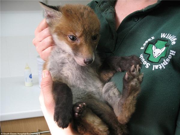 Chú chó con mà nhiều người phóng đoán hóa ra là một con cáo lông đỏ xinh xắn.