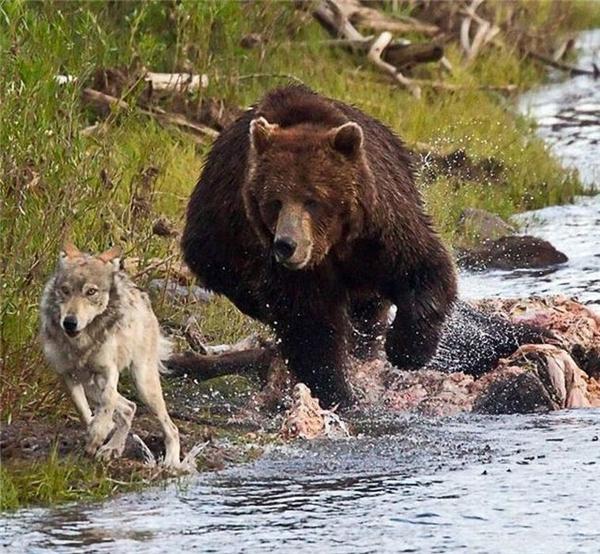 Gặp phải gấu hãy cố gắng chạy nhanh hơn nó để thoát thân: Đến Usain Bolt còn không thể chạy nhanh hơn gấu, bạn nghĩ mình có thể thoát được sao? Nếu gặp phải gấu đen, hãy đứng yên tại chỗ và làm cho mình trông có vẻ to lớn và hung dữ hơn nó, chẳng hạn tung hết các vạt áo ra, giơ hai tay lên trời, rồi gào thét cho đến khi nào nó bỏ đi. Nếu gặp gấu xám, tránh nhìn vào mắt nó vì nó sẽ tưởng bạn khiêu khích, nếu nó không tiến lại gần thì từ từ bước lùi rồi đến một khoảng cách an toàn hãy bỏ chạy, nếu nó tiến lại thì hãy cầu nguyện là bạn có mang theo bình xịt cay bên mình (xịt vào mắt nó rồi chạy). Nếu nó cố gắng chạm vào người bạn, hãy che các động mạch lại rồi giả chết.