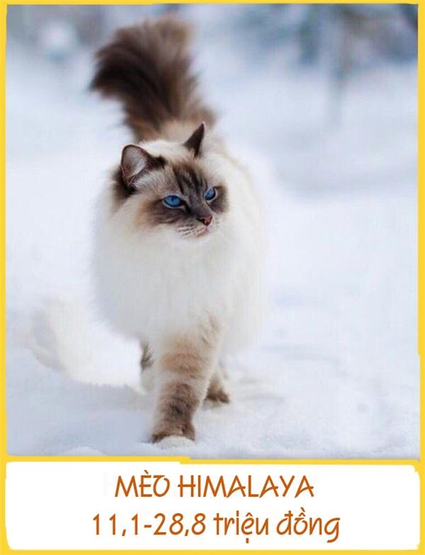 Mèo Himalaya có ngoại hình khá giống mèo Ba Tư nhưng khác ở đôi mắt màu xanh lamvà mặt, tai, chân, đuôi có màu tối. Chúngđược lai tạo vào năm 1950 tại Hoa Kỳ.Giống mèo này khádịu dàng, vâng lời,thân thiện và ôn hòa. Giá mỗi con dao động từ 11,1-28,8 triệu đồng.