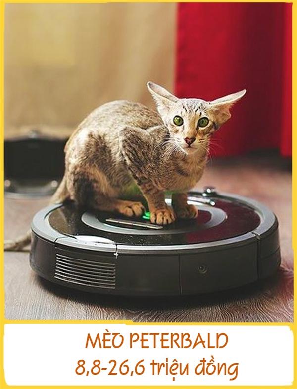 Giống mèoPeterbald còn được gọi là PhynxPetersburg (tên tượng nhân sư Ai Cập),được lai tạo ở Nga vào năm 1994. Những chú mèo này có dáng tương đối mảnh khảnh, gương mặt thon dài và đôi tai lớn. Giống này gồmhai loại trụi lông và có lông. Chúng hòa đồng, dễ tính và dễ huấn luyện. Mỗi chúPeterbald có giá từ khoảng 8,8-26,6 triệu đồng.