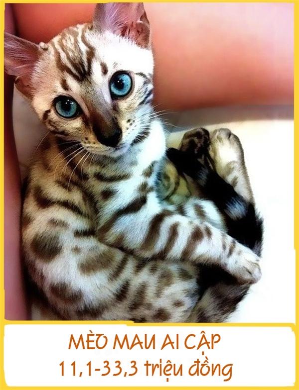 Vẻ ngoài của giống mèo Mau Ai Cập đã thay đổi một phần so với tổ tiên cáchchúng 3.000 năm về trước. Những chú mèo này không chỉ có đốm trên lông mà cả trên da cũng có. Để sở hữu một con mèo Ai Cập cổ đại, bạn cần phải chuẩn bị từ 11,1-33,3 triệu đồng.