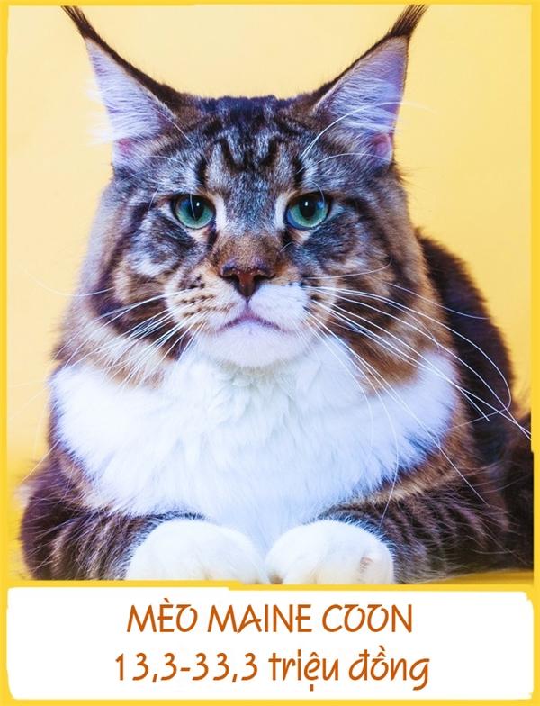 Mèo Main Coon hay còn được gọi với cái tên mèo lông dài Mỹ là một trong những giống mèo lớn nhất. Những con trưởng thành nặng từ 5-15kg và dàikhoảng1,23m. Mặc dù có ngoại hình hơi đồ sộ nhưng giống mèo này lại rất đáng yêu và hòa nhã. Mỗi chú mèo Main Coon có giá từ 13,3-33,3 triệu đồng.