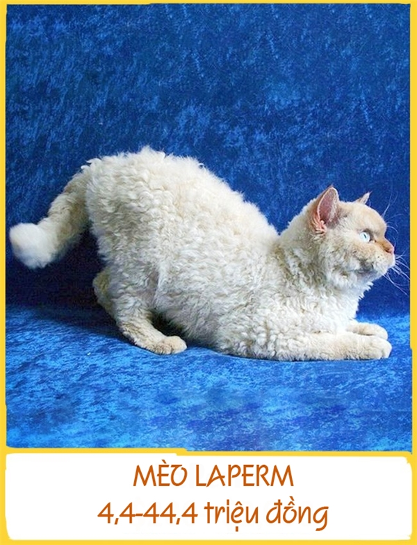 LaPerm là một trong những giống mèo kì lạ nhất xuất hiện từ những năm 1980 ở Mỹ. Chúng có bộ lông xoăn như lông cừu và đặc biệt không gây dị ứng. Chính vì thếLaPerm là lựa chọn thích hợp cho những gia đình có người dị ứng lông. Mỗi chú LaPerm có giá khoảng 4,4-44,4 triệu đồng.