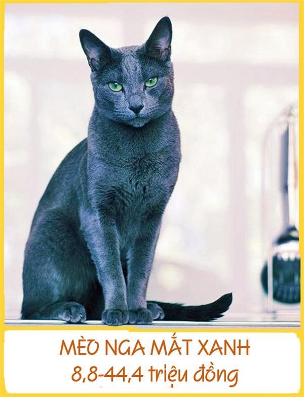 Mèo Nga mắt xanh là một trong những giống mèo lông ngắn phổ biến nhấtđược biết đến từ những năm 1893. Theo quan niệm dân gian, chúng đem lại vận may cho chủ của mình. Do đó, đã có nhiều người không ngại ngần bỏ ra 8,8-44,4 triệu đồng để sở hữu một chú mèo Nga mắt xanh kiêu kỳ.
