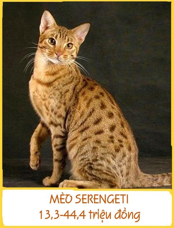 MèoSerengeti được phát hiện vào năm 1994 ở California. Giống mèo này khi trưởng thành có thể nặng đến 12kg vớibộ lông đốm đen, đôi tai lớn và chân dài. Giá mỗi con dao động từ 13,3-44,4 triệu đồng.
