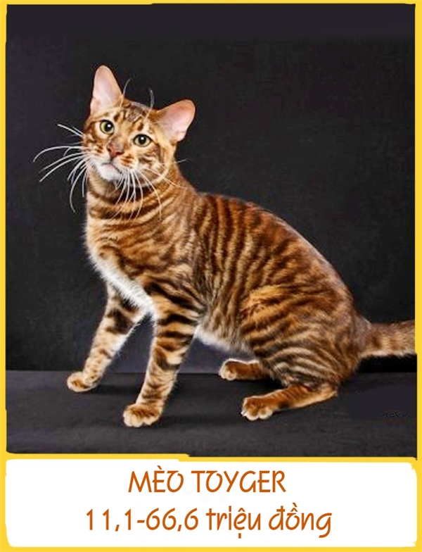 Giống mèo Toyger sở hữu bộ lông vằn giống loài hổ và tên gọi của chúng cũng tương đồng với tên hổ (Tiger). Người lai tạo giống mèo này nói rằng sự xuất hiện củaToyger giúp mọi người ý thức hơn về việc bảo vệ hổ trong tự nhiên. Mỗi chú Toyer có giá 11,1-66,6 triệu đồng.