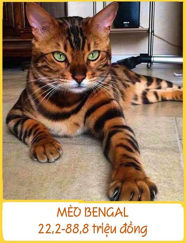 Mèo Bengal được lai từ giống mèobáochâu Á và mèo nhà.Những chúmèo Bengal rất thích bơi lộivàmặc dù nặng tới 4-8kg songchúngthường leo lên vai người chủ để thể hiện tình cảm yêu thương. Mỗi chú Bengalcó giá từ 22,2-88,8triệu đồng.