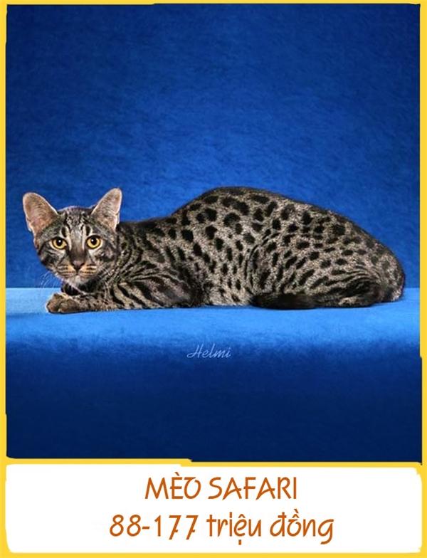 Giống mèo quý hiếm này được lai từ mèo nhà và mèoGeoffroy hoang dãở Nam Mỹ nhằm mục đíchnghiên cứu bệnh bạch cầu. Lứa đầu tiên được phát triển ở Mỹ vào năm 1970. Mèo Safari trưởng thành nặng trung bình 11kg và có giá 88-177 triệu đồng.
