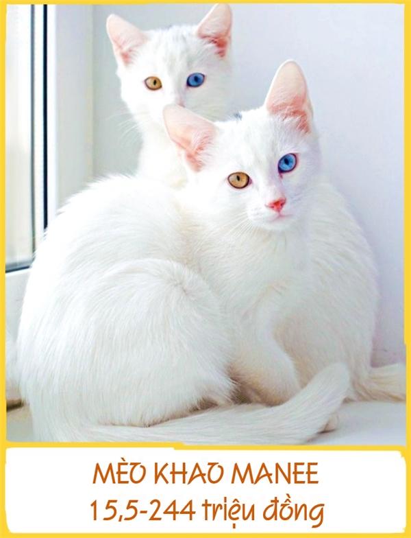 Những chú mèo Khao Manee sở hữu vẻ ngoài kiêu kì, xinh đẹp được cho là xuất hiện từ những năm1350-1767. Trước đây, chúng chỉ sống trong gia đình hoàng tộc và được xem như một biểu tượng may mắn, trường thọ và khỏe mạnh. Sở hữu được một chúKhao Manee là niềm ao ước của nhiều người song giá lại rấtđắt, từ 15,5-244 triệu đồng.