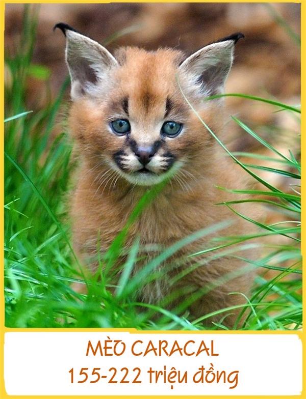 Giống mèo Caracal đang đối mặt với nguy cơ tuyệt chủng do vài năm trước, chúng từ một giống săn mồi trở thành thú nuôi có giá. Để sở hữu giống mèo quý và độc nhất vô nhịnày, bạn cần chuẩn bị khoảng 155-222 triệu đồng.