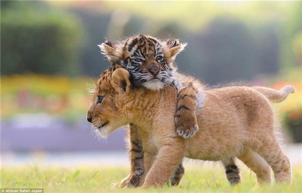 Cặp hổ và sư tử con vô cùng đáng yêu này được sinh ra tại một sở thú ở Nhật Bản đầu năm nay.