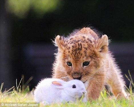 Trước khi bản năng của một con thú bị đánh thức, hai con hổ và sư tử mới sinhvẫn thoải mái đùa giỡn cùng thỏ con.