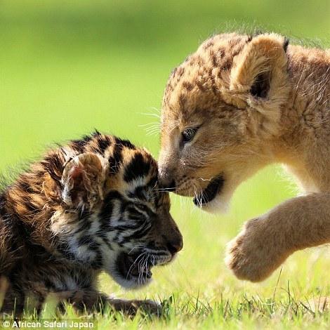 Sư tử và hổ con âu yếm cụng đầu như hai anh em cùng nòi giống.