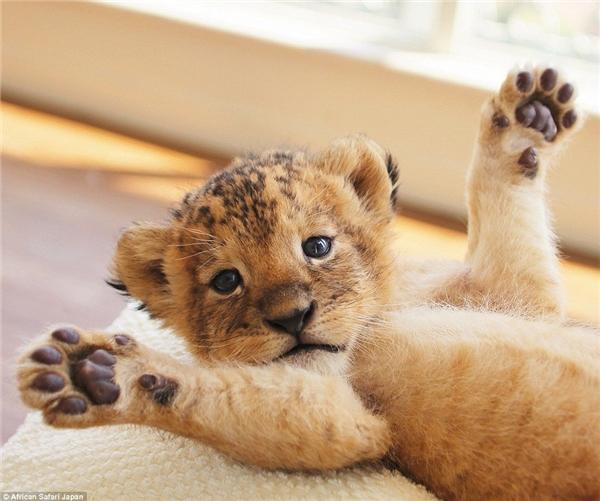 Khoảnh khắc hổ và sư tử âu yếm khiến con người cũng phải ngưỡng mộ