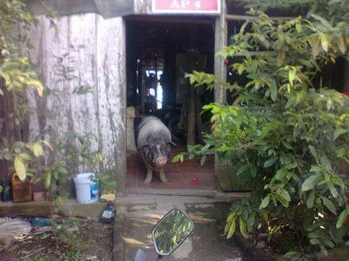 Chú heo biết thay chó trông coi nhà cửa,không cho người lạ vô nhà. (Ảnh Internet)