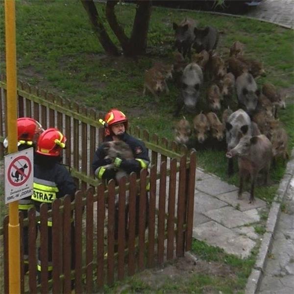 Một chú lợn bị mắc kẹt trong hàng rào, chính vì vậy gia đình của cậu bé nhỏ đang đứng chờ nó được giải cứu.