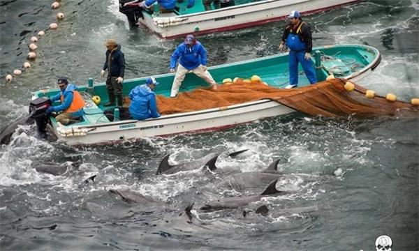 Phần lớn cá heo bắt được sẽ bị mổ lấy thịt hoặc bán mua vui.