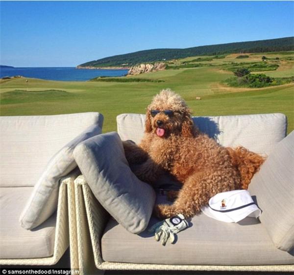 Khó tin: Chó Poodle ăn tôm hùm, đi nghỉ dưỡng sang chảnh như đại gia