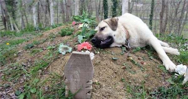 Zozo vẫn từng ngày nằm bên mộ chủ với dáng vẻ buồn bã, nhớ thương. (Ảnh Internet)