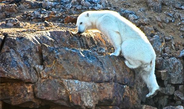 Hiệu ứng nhà kính ngày càng gia tăng làm cho nước biển không ngừng dâng cao, dẫn đến sự suy thoái nghiêm trọng của môi trường sinh thái ở khu vực Bắc Băng Dương.