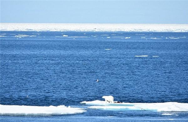 Chúng ta luôn nghĩ rằng gấu Bắc cực gắn liền với các khu vực đầy tuyết và băng.