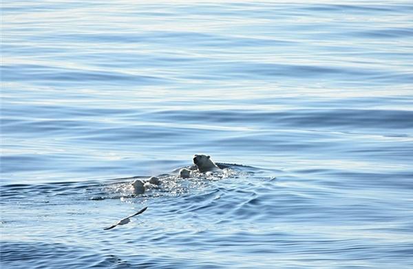 Những chú gấu Bắc cực di chuyển trên những phiến đá trơ trụi, không tuyết, thậm chí còn bơi dưới làn nước mênh mông không hề phủ băng tuyết.