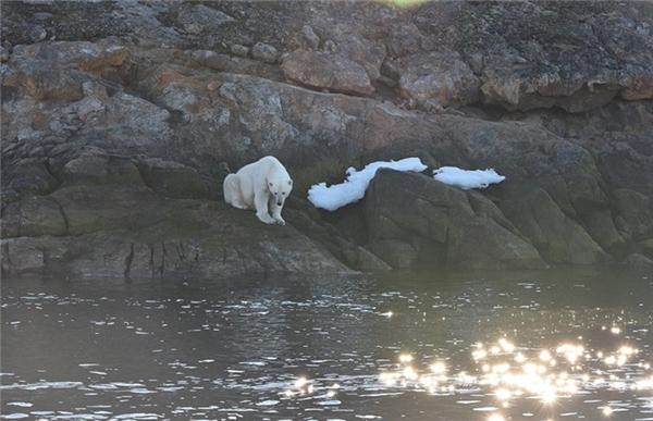 Chuyên gia về gấu Bắc cực Nicholas chia sẻ với phóng viên tờ Daily Post rằng, chúng ta có thể dễ dàng nhận thấy tác động lớn của sự nóng lên toàn cầu đối với động vật hoang dã ở Bắc Cực.