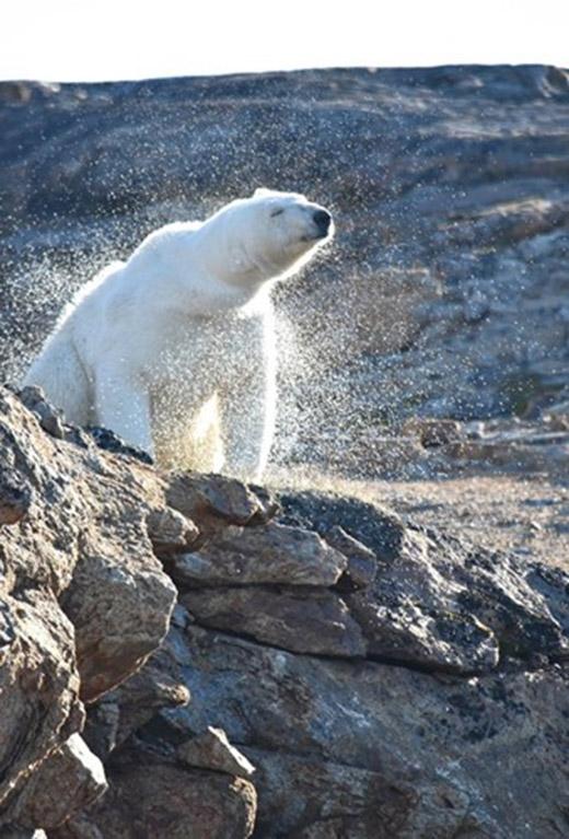 Nhưng sau khi các bức ảnh về đảo Baffin được công bố, giới nghiên cứu động vật đã bị sốc.
