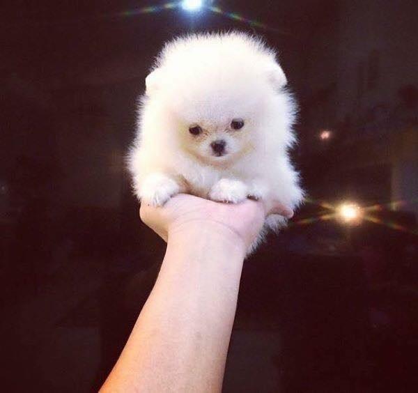 Phát cuồng vì những em cún nuôi hoài không lớn xinh ngất ngây