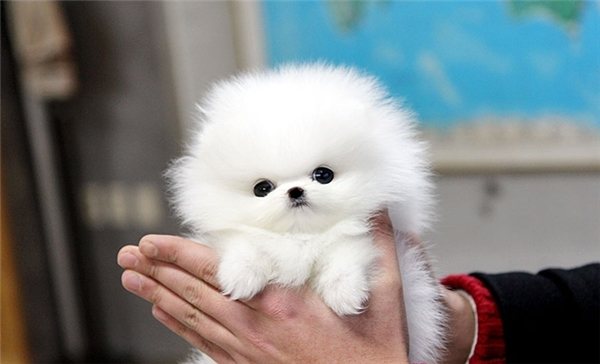 Giống chó nuôi mãi không lớn này chỉ nặng chưa đến 1kg, bề ngoài tương tựbằng nắm tay, rất dễ mang theo bên người khi đi chơi, cà phêhay du lịch.
