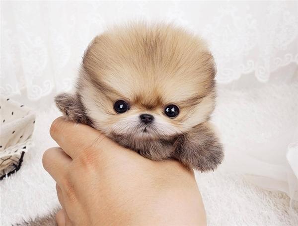 Có rất nhiều bạn trẻ từ Bắc vào Nam đặt mua giống chó nhỏ nhắn này. Loài chó này có nhiều dòng như pomeranian (phốc sóc trắng), poodle, chihuahua...