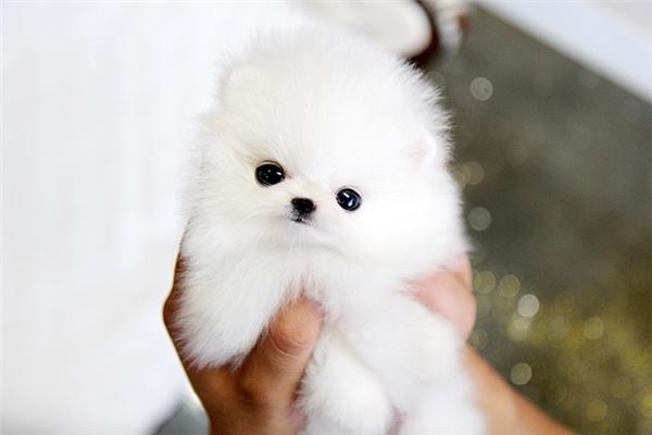 Phần nhiều các bạn thường đặt mua giống chó lông xù màu trắng vẻ ngoài đáng yêu, dễ gần.