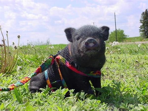 Lulu là chú lợn thông minh và dũng cảm. (Ảnh: Internet)