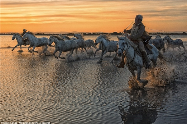 Đàn ngựa trắng Camargue lao qua vùng lầy ở Camargue, miền Nam nước Pháp. Bức ảnh này của Steve Lange đã gây ấn tượng cho nhiều người.