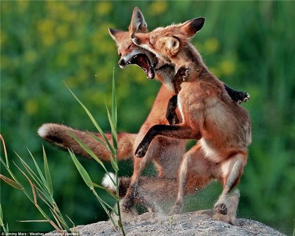 Jimmy Marz đã ghi lại được khoảnh khắc đắt giá trong trận chiến giữa hai con cáo.