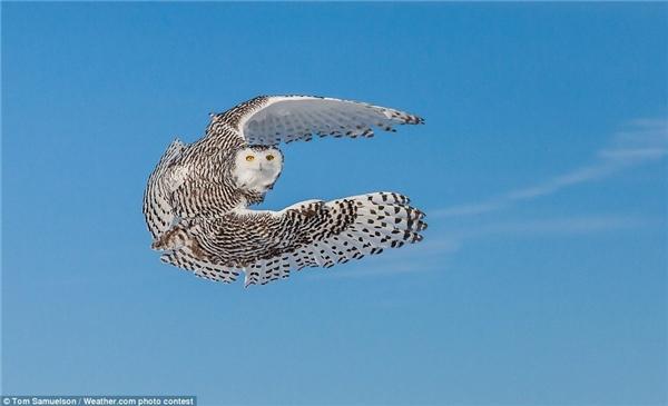 Con cú tuyết tung cánh bay trong ảnh của Tom Samuelson.