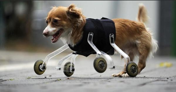Hoppa có thể di chuyển bình thường nhờ các bánh xe gắn lên người.