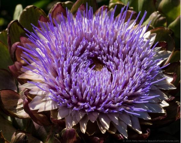 Nhìn mãi nụ hoa thôi, bạn có biết khi nở hoa atisô đẹp thế này!