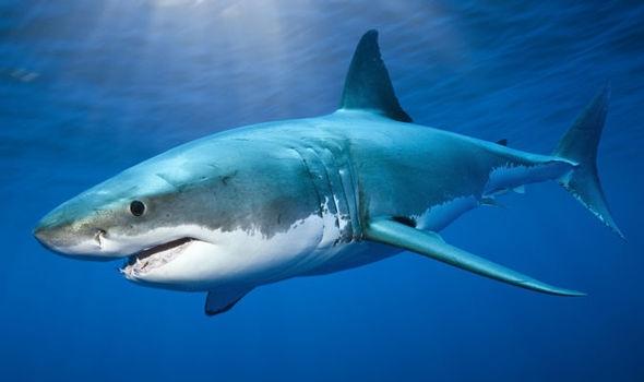 Ảnh phóng to của cá mập, bạn có tin không?(Ảnh: Internet)
