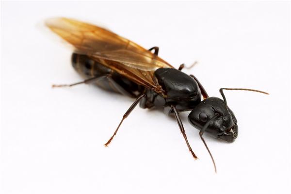 Đừng hoảng sợ, đó chí là một con kiến cánh thôi.(Ảnh: Internet)