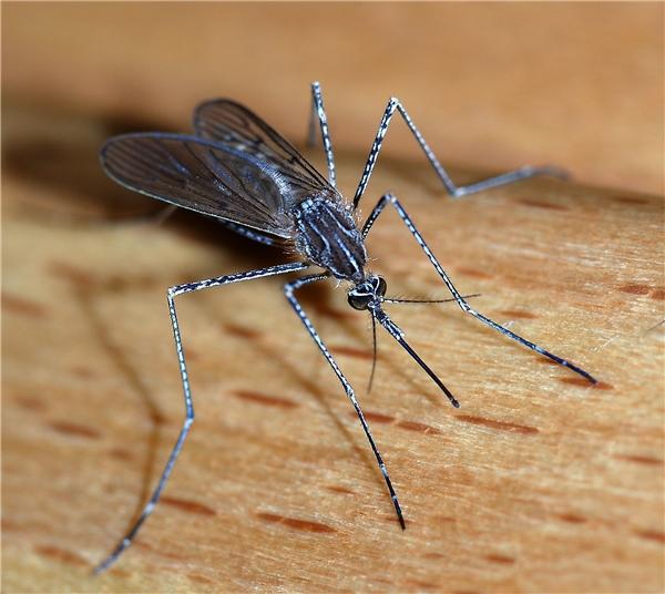 Một con muỗi thôi, không có gì đâu.(Ảnh: Internet)