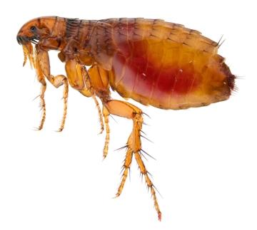 Nhưng thật ra là một con bọ.(Ảnh: Internet)