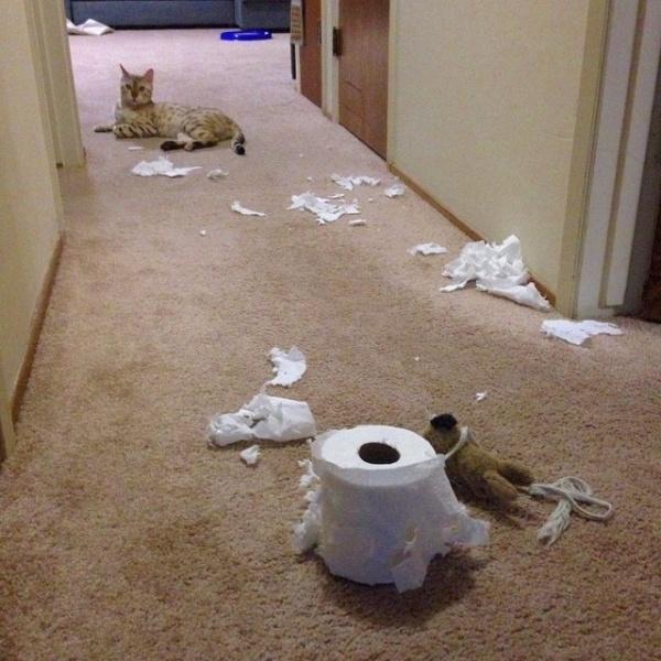 Dường như mèo và khăn giấy là kẻ thù truyền kiếp của nhau.